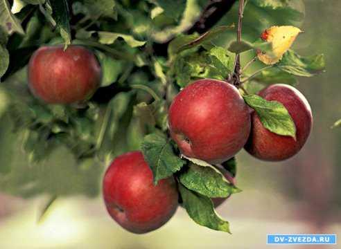 Картинка яблоня с золотыми яблоками в волшебном саду. План ...