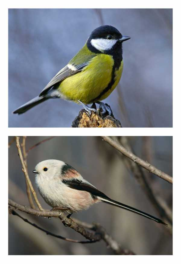 картинки для детей птичка синичка занятие по ознакомлению