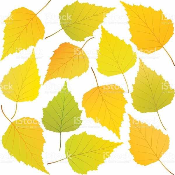 Раскраска береза осенью для детей. Учимся рисовать осеннюю ...